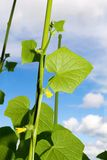 Cucumber blossoming plant against the cloudy sky Stock Images