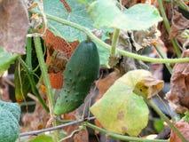 Cucumber closeup. Cucumber   grown in the garden Stock Photography