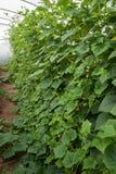 Cucumber crop Royalty Free Stock Photo