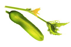 Cucumber (Cucumis sativus) Royalty Free Stock Photos