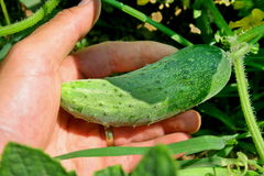 Cucumber cultivation Royalty Free Stock Photo