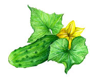 Cucumber, drawing, picture, color. West Indian Gherkin cucumber, English Cucumber, Kirby cucumber, Persian cucumber, Armenian Cucumber Stock Photography