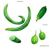 Cucumber, drawing, picture, color. West Indian Gherkin cucumber, English Cucumber, Kirby cucumber, Persian cucumber, Armenian Cucumber Royalty Free Stock Photography