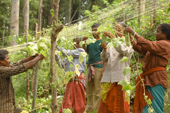 Cucumber farming Andamans. India Asia stock photo
