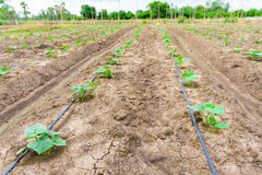 Cucumber field growing with drip irrigation system. Stock Photography