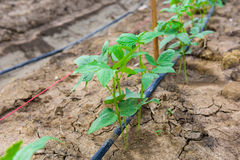 Cucumber field growing with drip irrigation system. Royalty Free Stock Photos