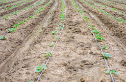 Cucumber field growing with drip irrigation system. Stock Image