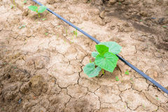 Cucumber field growing with drip irrigation system. Stock Images