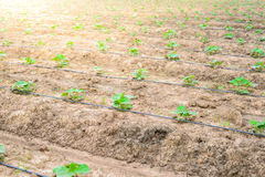 Cucumber field growing with drip irrigation system. Royalty Free Stock Photography