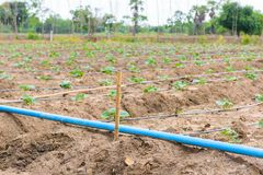 Cucumber field growing with drip irrigation system. Stock Photos