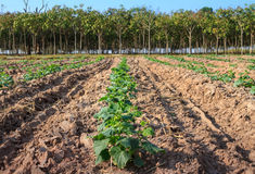 Cucumber field Stock Images
