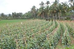 Cucumber field Stock Photo