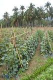 Cucumber field Stock Photos