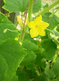 Cucumber flower. Yellow cucumber in a greenhouse Stock Image