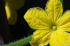 Cucumber flower Stock Image
