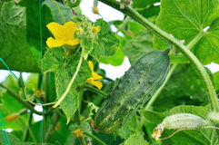Cucumber and flower Royalty Free Stock Photos
