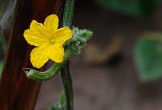Cucumber flower Royalty Free Stock Photo