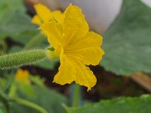 Cucumber flower Bud. Large flower yellow. Olericulture stock photos