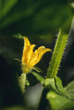 Cucumber flower detail in garden, macro photography..blooming cucumber Royalty Free Stock Photo