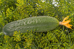 Cucumber with flower on dill Royalty Free Stock Image