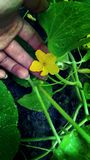 Cucumber Flower. This healthy cucumber plant just began blooming flowers in Southeast Michigan. After natures watering, we caught this precious moment of Royalty Free Stock Image