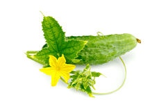 Cucumber with flower and leaf. Green leaves, tendrils, yellow flower and cucumber with a light shade on white background Royalty Free Stock Photography