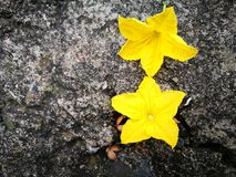 Cucumber flower lying on the hard ground Stock Photography