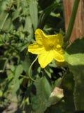 Cucumber flower. Macro on green background stock image