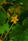 Cucumber flower Stock Photography