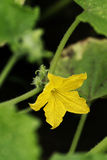Cucumber flower Stock Images