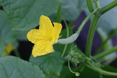 Cucumber with flower and tendrils Royalty Free Stock Images