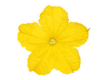 Cucumber flower. On white background stock image