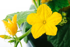 Cucumber flower on a white background Royalty Free Stock Image