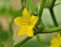 Cucumber flowers Stock Images