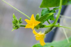 Cucumber and flowers growing on vines. Widely cultivated plant in the gourd family, Cucurbitaceae stock image