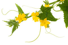 Cucumber flowers. And leaves isolated on white Stock Photography