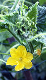 Cucumber flowers on the young sprouts Royalty Free Stock Photography