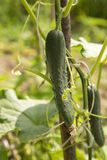 Cucumber. Fresh green cucumber growing in garden Stock Images