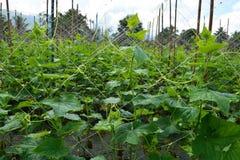 Cucumber garden Stock Image