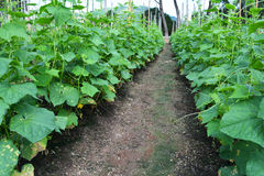 Cucumber garden Stock Images