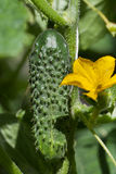 Cucumber in garden. Stock Photography