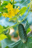 Cucumber Gardenizing Royalty Free Stock Photo
