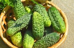 Cucumber gherkin in wattled basket. Green cucumber gherkin in a wattled basket Royalty Free Stock Images