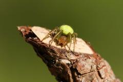 A pretty Cucumber Green Orb Spider, Araniella cucurbitina sensu stricto, hunting for food.