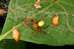 Cucumber green spider (Araniella cucurbitina). Male on a leaf Stock Image