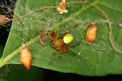 Cucumber green spider (Araniella cucurbitina) Stock Image