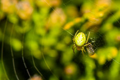 Cucumber green spider Stock Photo