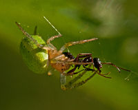 Cucumber green spider, Araniella cucurbittina female Stock Photos