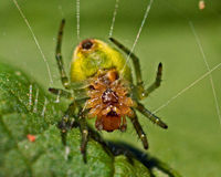 Cucumber green spider, Araniella cucurbittina male. Bottom Royalty Free Stock Photo