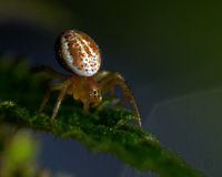 Cucumber green spider, Araniella displicata spiderling Stock Image